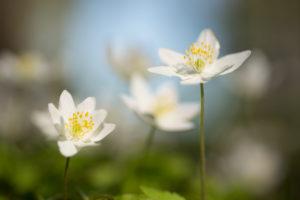 Close-up of Wood Anemone flowers, Anemone nemorosa