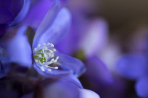 Close-up of liverwort flower (Hepatica nobelis), macro