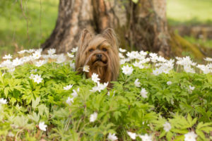 Little dog sits middle of wildflowers, Anemone nemorosa