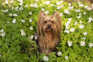 Small dog sits in the middle of the white anemones, Yorkshire Terrier