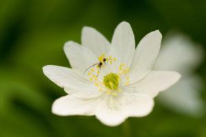 Close-up of wood anemone, Anemone nemorosa, spider on petal