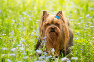 Yorkshire Terrier stands in middle of forget-me-not flowers, spring scene