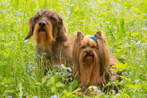 Yorkshire Terrier and Wire-haired Dachshund sit in middle of forget-me-not flowers, spring scene