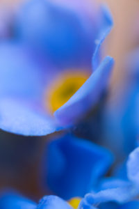 Forget-me-not flower, extreme macro