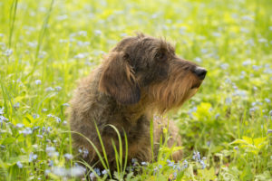Wire-haired dachshund sits in middle of forget-me-not flowers, spring scene