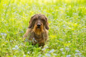 Wire-haired dachshund sits in middle of forget-me-nots flowers, spring scene