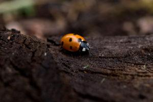 Close-up of Ladybird