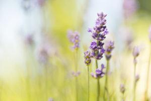 Lavender, bokeh background