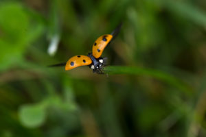 Ladybird spreads its wings, nature green background