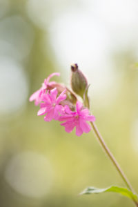 Pink meadow flower, Silene dioica,  bokeh backgroun