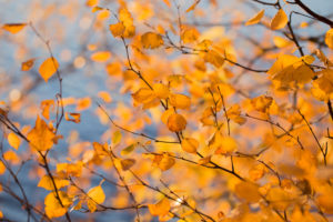 Birch branches in autumn color, nature background