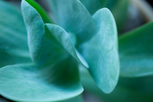 Close-up of Succulent Leaves