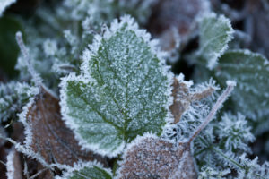 Closeup of frozen leaves, blurred natural background