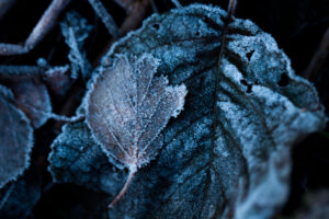 Frozen Leaves, dark color with white frost