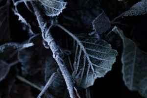 Closeup of frozen leaves, blurred background