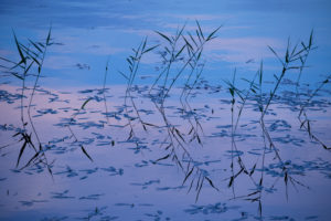 Reeds, lake, reflection