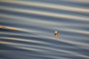 Mayfly, (Ephemeroptera) on water surface, reflection