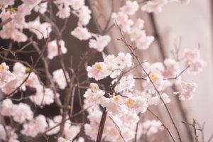 zart rosa blühende Zweige