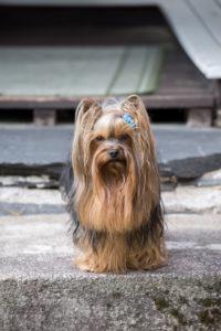 Yorkshire-Terrier, der auf einer Treppe sitzt