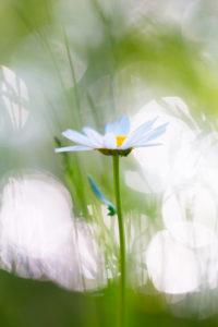 A daisy, summer scene