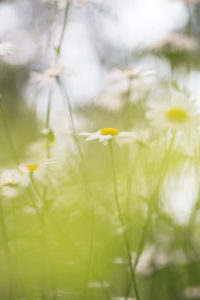 Lovely daisies, green blurred, natural background