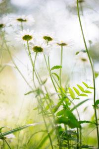 Gänseblümchen im Garten, heller Hintergrund