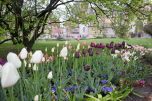 Tulips in garden of Wawel Royal Castle, Krakow, Poland