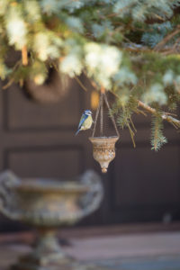 Eurasian blue tit, (Cyanistes caeruleus) sitting on a metal pot chain, Finland