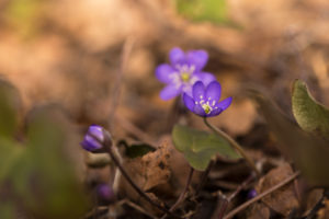 Anemone hepatica (common hepatica, liverwort, kidneywort, pennywort) Flowers, Forest, Finland