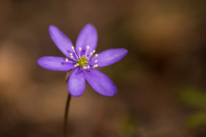 Close-up of Anemone hepatica (common hepatica, liverwort, kidneywort, pennywort), dark nature background, Springtime, Finland