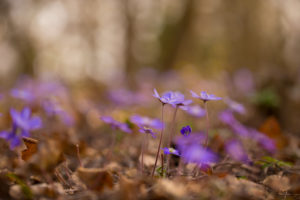Anemone hepatica (common hepatica, liverwort, kidneywort, pennywort) Flowers on Cloudy Day, Spring, Forest, Finland