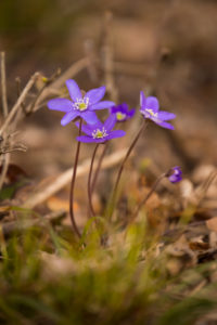Anemone hepatica (common hepatica, liverwort, kidneywort, pennywort) Flowers, Spring, Forest, Finland