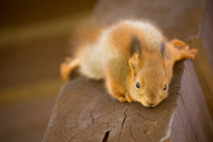 Close-up of Eurasian red squirrel cub, Sciurus vulgaris