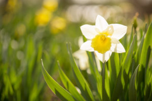White Narcissus, Early spring, Garden, Finland