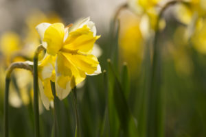 Yellow Narcissus Flowers, Early spring, Garden, Finland