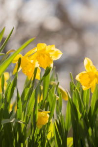 Yellow Narcissus, Early spring, Garden, Finland