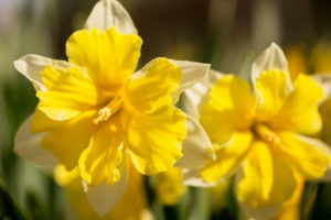 Close-up of Yellow Narcissus Flowers, Springtime, Garden, Finland