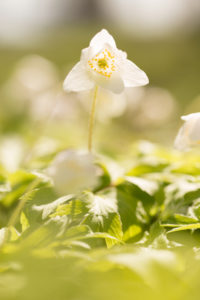 Wood anemone, Anemone nemorosa, Spring forest, Finland