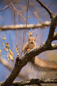 Young Red Squirrel (Sciurus vulgaris) on Birch Tree Branch, Springtime, Finland