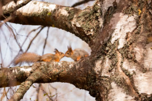 Eurasian Red Squirrel (Sciurus vulgaris) babies on Birch Tree Branch, Springtime, Finland