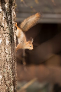 Young Red Squirrel (Sciurus vulgaris), Birch Tree Trunk, Springtime, Finland