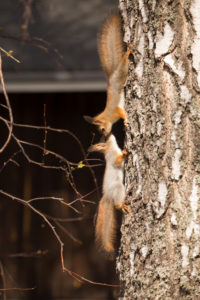 Young Red Squirrel (Sciurus vulgaris) greet each other on Birch Trunk, Springtime, Finland