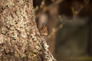 Eurasian Red Squirrel (Sciurus vulgaris) baby peek behind Birch Tree, Springtime, Finland