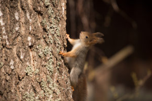 Eurasian Red Squirrel (Sciurus vulgaris) baby climbs up the Birch Trunk, Springtime, Finland