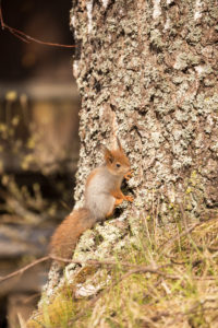 Young Eurasian Red Squirrel (Sciurus vulgaris) baby sitting on the Birch Trunk, Springtime, Finland