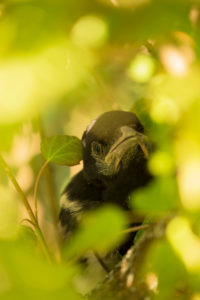 Magpie chick surrounded by shrub leaves close-up, natural outdoor setting