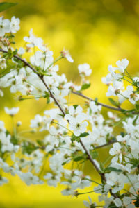 White flowering cherry blossoms, natural outdoor setting, bokeh background