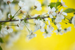 White flowering cherry blossoms close-up, natural outdoor setting