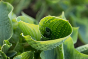 Young rolled up leaf, Hosta, natural outdoor setting