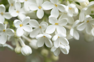Blooming Lilac, white flowers close-up natural outdoor setting, dark background